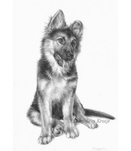 Potlood portret tekening herderspup in opdracht Marjolein Kruijt