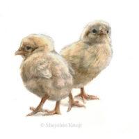 Schilderij kippenkuikens in aquarel door Marjolein Kruijt