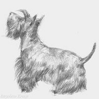 'Scottish terrier', portret in potlood €120 (te koop)