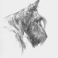 'Scottish terrier schets', portret in potlood (te koop)