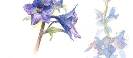 Illustratie Bloemen Ridderspoor in aquarel door Marjolein Kruijt