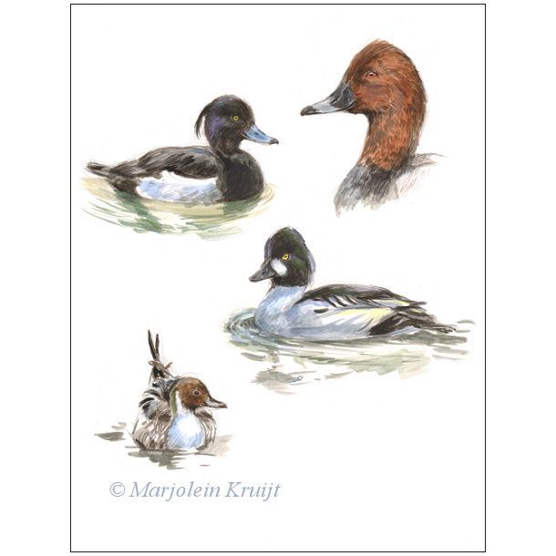 Vogel illustraties te koop - Marjolein Kruijt Kuifeend/Tafeleend/Pijlstaart/Brilduiker
