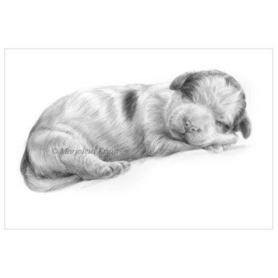 'Lagotto romagnolo pup', 15x20 cm, potlood tekening (te koop)