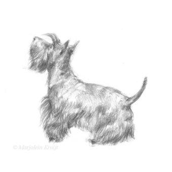 'Scottish terrier', 13x18 cm, potlood portret tekening (te koop)