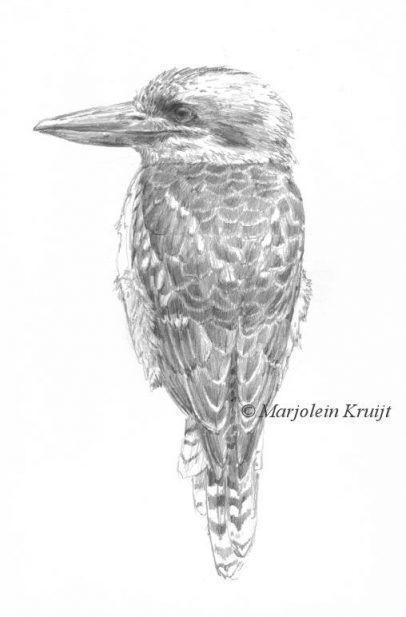 'Kookaburra', tekening in potlood (te koop)