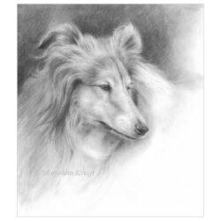 'Collie', 26x23 cm, potlood tekening (te koop)